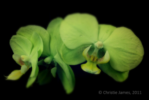 CJ - Green Orchids - 2011