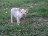 baby pig on green grass